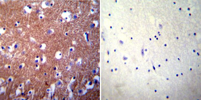 PMCA3 ATPase Antibody (PA1-916) in Immunohistochemistry