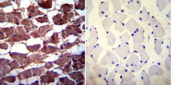 PMCA3 ATPase Antibody (PA1-916)