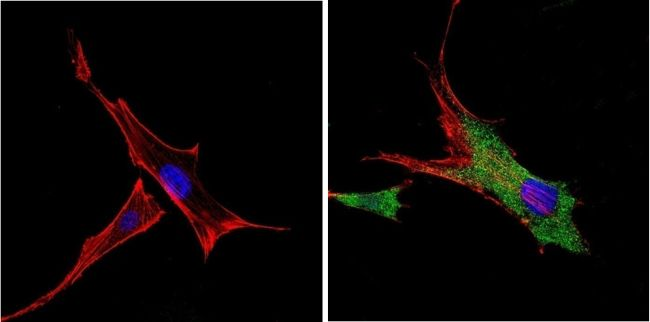 VDAC Antibody (PA1-954A)