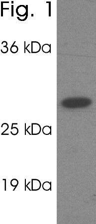 PSME1 Antibody (PA1-960)