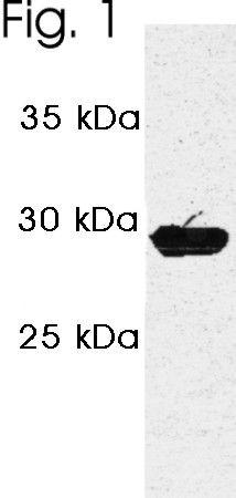 PSME3 Antibody (PA1-961)