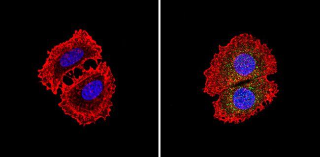 PKR Antibody (PA1-991)