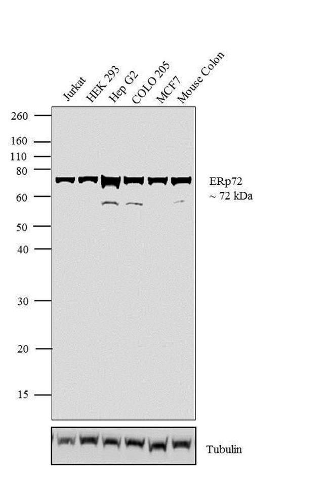 ERp72 Antibody (PA1-007) in Western Blot