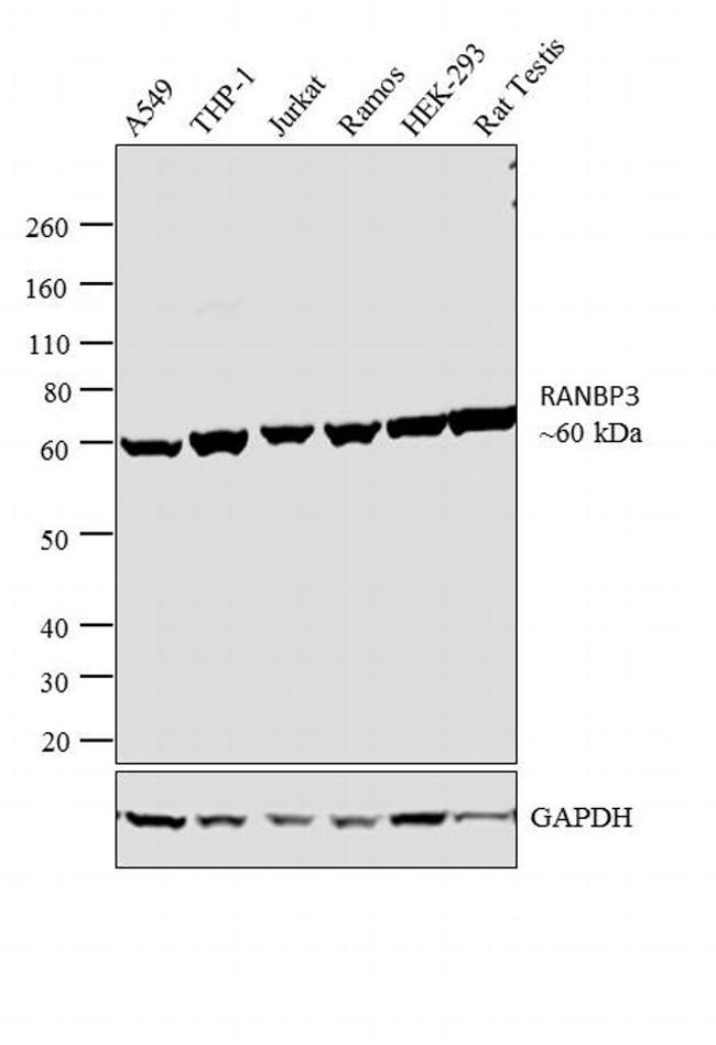 RANBP3 Antibody (PA1-084) in Western Blot