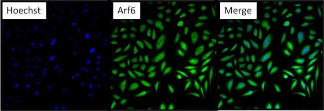 ARF6 Antibody (PA1-093) in Immunofluorescence