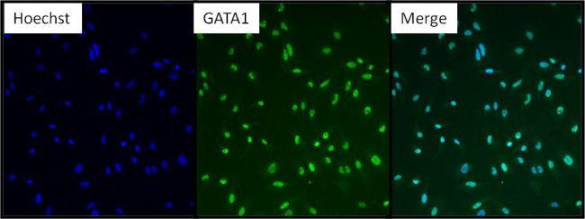 GATA1 Antibody (PA1-099X)