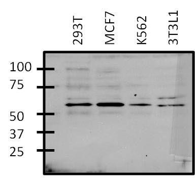 GATA6 Antibody (PA1-104X) in Western Blot