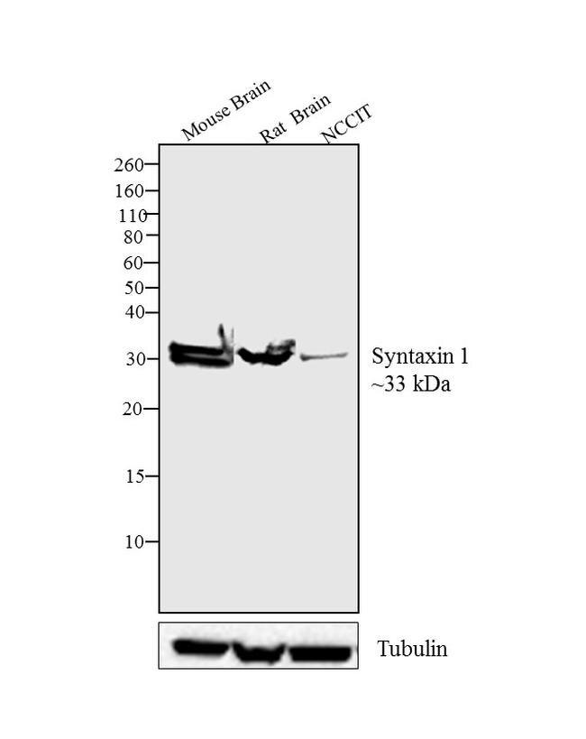 STX1A Antibody (PA1-1042) in Western Blot