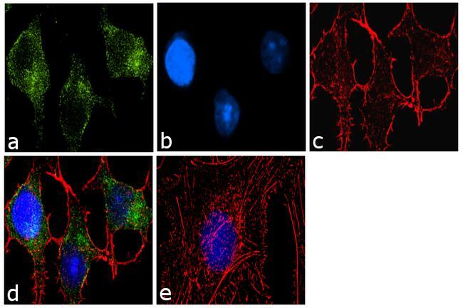 ATG9A Antibody (PA1-16993) in Immunofluorescence