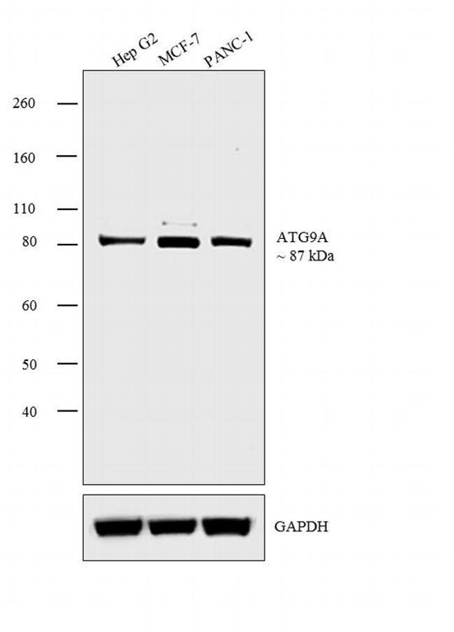 ATG9A Antibody (PA1-16993) in Western Blot