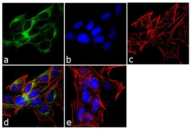 ADAMTS4 Antibody (PA1-1749A) in Immunofluorescence