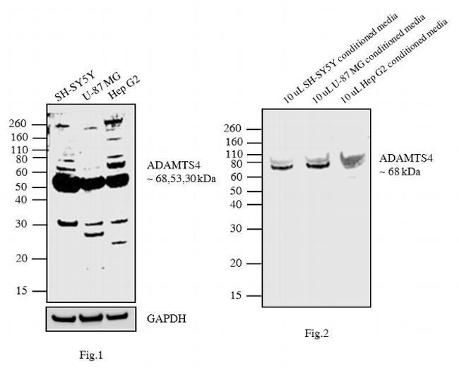 ADAMTS4 Antibody (PA1-1749A) in Western Blot