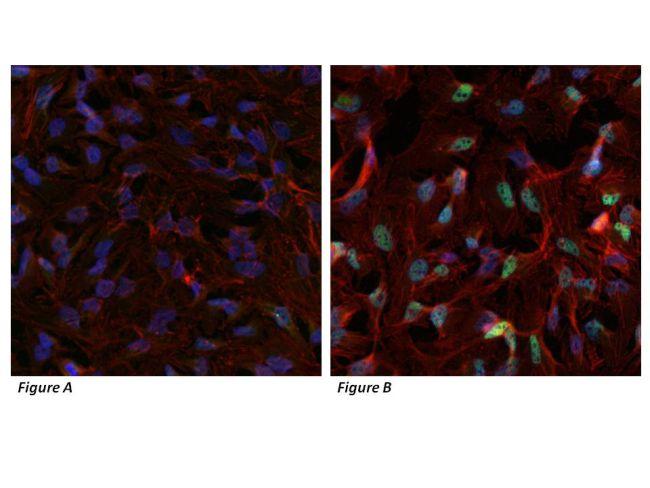 HIF1A Antibody (PA1-184) in Immunocytochemistry