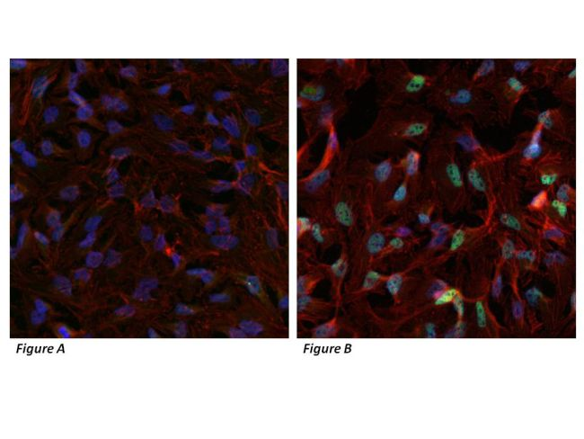 HIF-1 alpha Antibody (PA1-184)