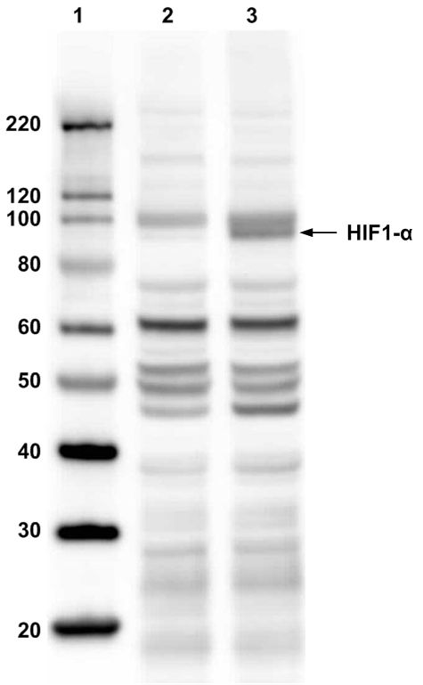 HIF1A Antibody (PA1-184) in Western Blot