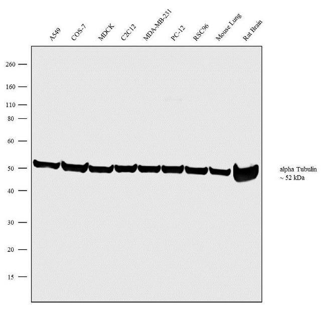 alpha Tubulin Antibody (PA1-20988) in Western Blot