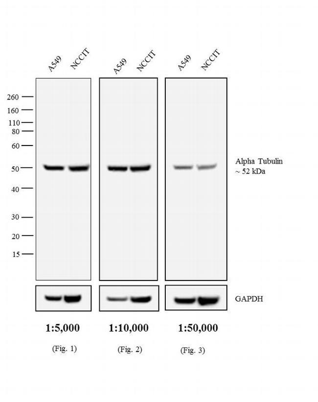 Rat IgG Secondary Antibody (PA1-30361) in Western Blot