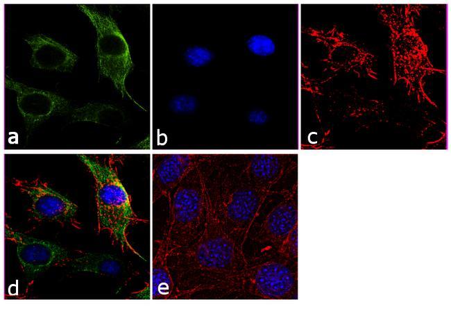 beta Tubulin Antibody (PA1-41331) in Immunofluorescence