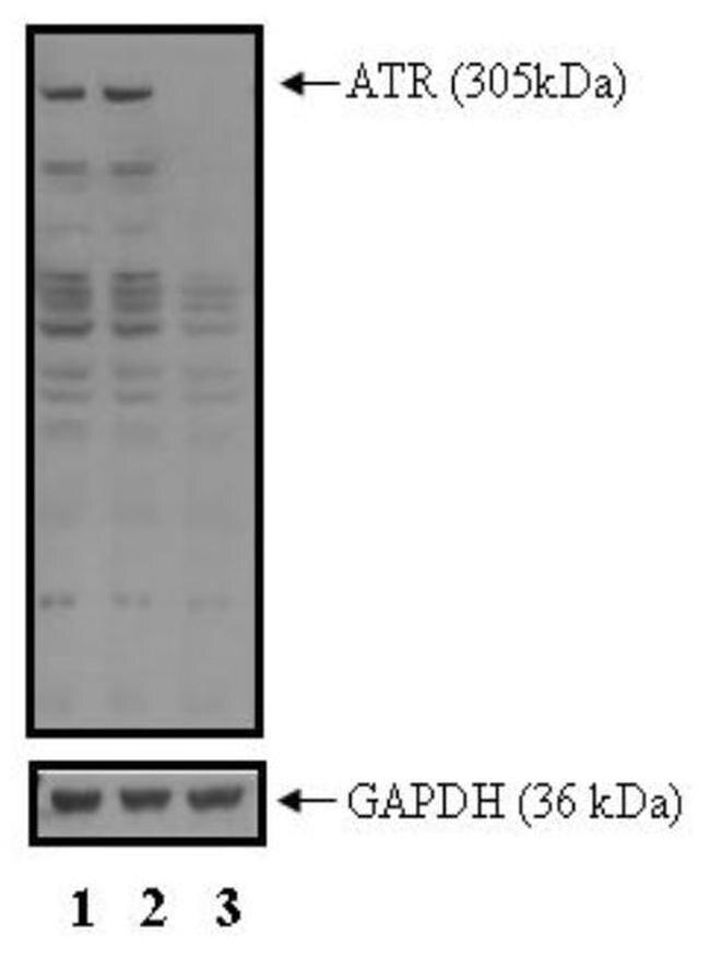 ATR Antibody (PA1-450) in Western Blot