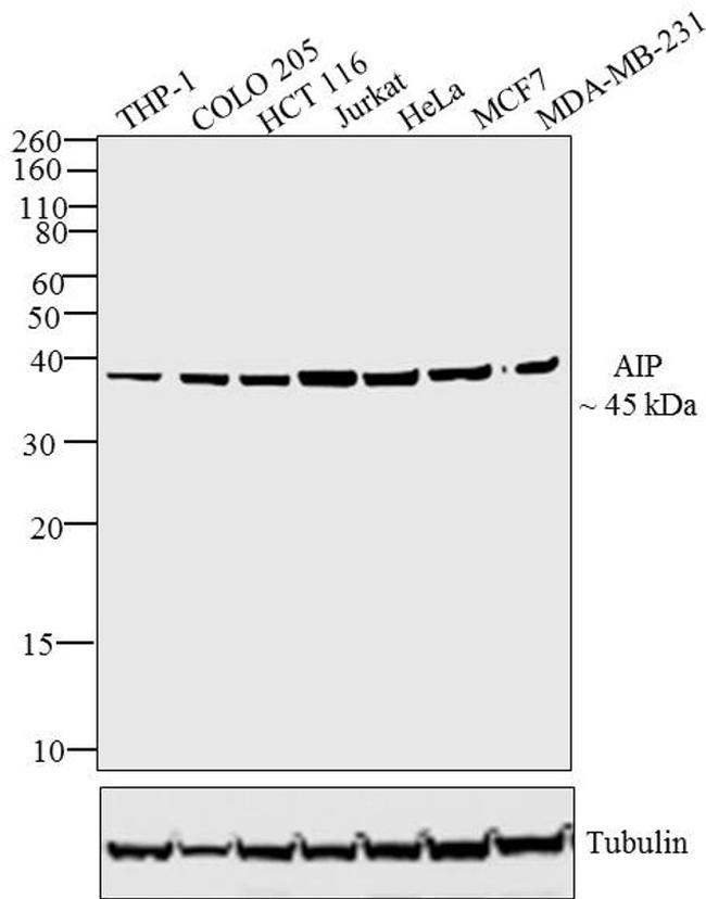 AIP Antibody (PA1-514) in Western Blot