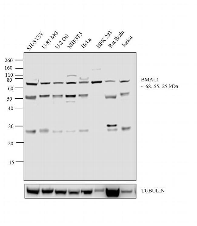 BMAL1 Antibody (PA1-523) in Western Blot