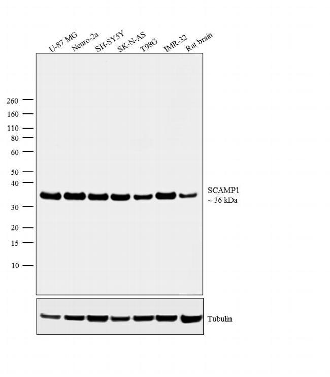 SCAMP1 Antibody (PA1-739)