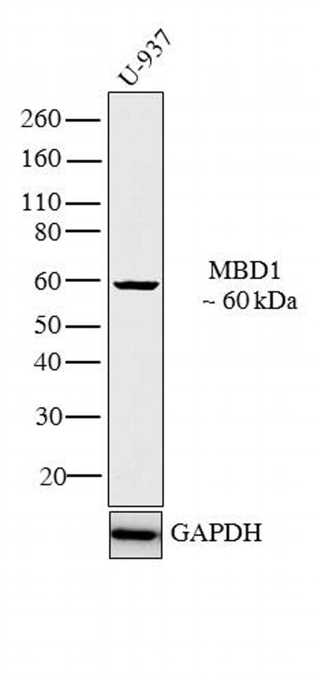 MBD1 Antibody (PA1-889) in Western Blot