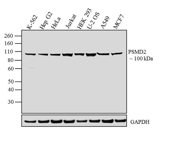 PSMD2 Antibody (PA1-964) in Western Blot