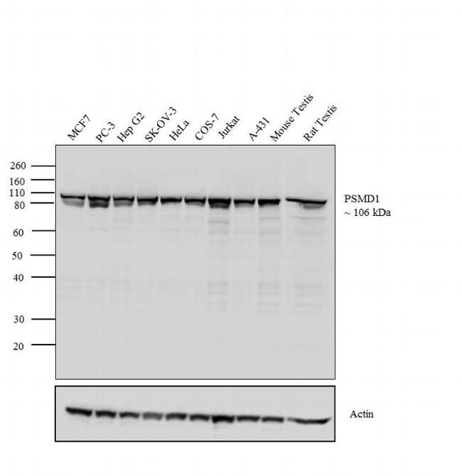 PSMD1 Antibody (PA1-973) in Western Blot