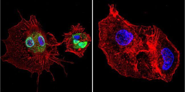 Cyclophilin 40 Antibody (PA3-022) in Immunofluorescence