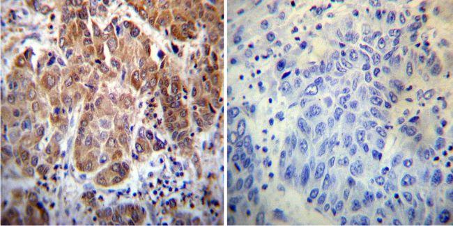 Cyclophilin 40 Antibody (PA3-022) in Immunohistochemistry
