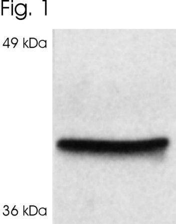 Cyclophilin 40 Antibody (PA3-023) in Western Blot