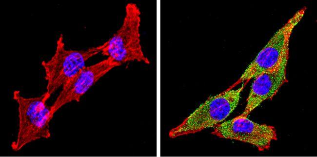Cyp4a10 Antibody (PA3-033) in Immunofluorescence