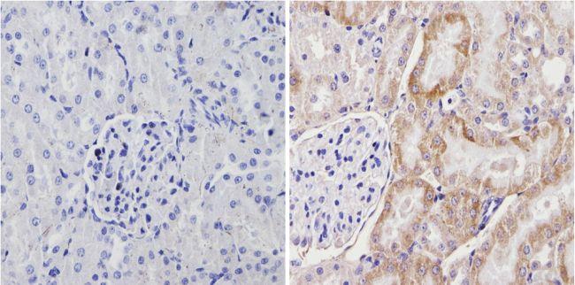 Cyp4a10 Antibody (PA3-033) in Immunohistochemistry (Paraffin)