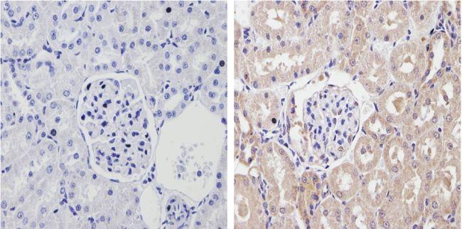 CYP2C11 Antibody (PA3-034) in Immunohistochemistry (Paraffin)