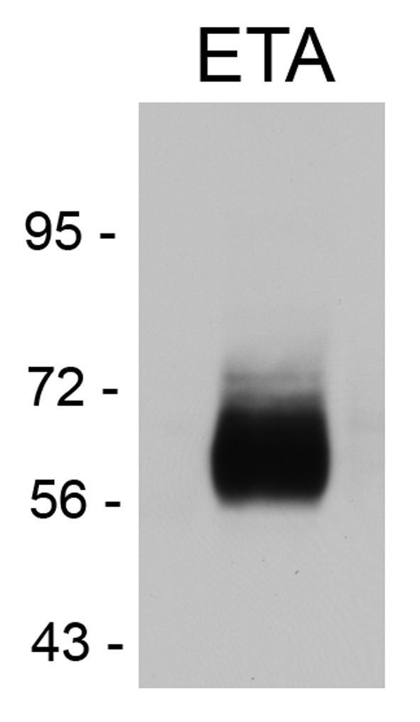 Endothelin A Receptor Antibody (PA3-065) in Western Blot