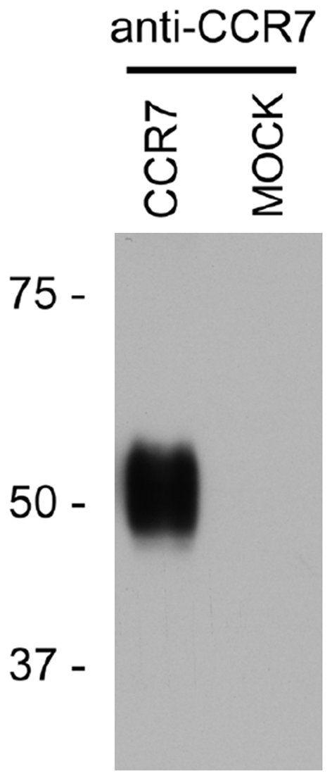 CXCR7 Antibody (PA3-069) in Western Blot