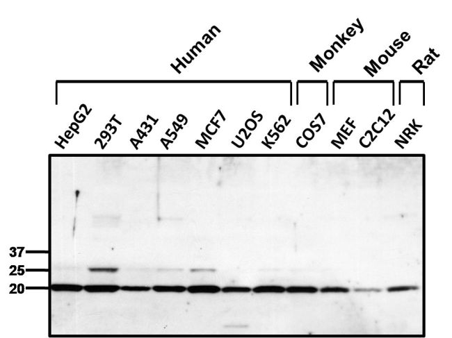 PRDX1 Antibody (PA3-750) in Western Blot