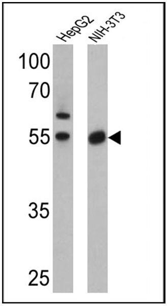PPAR alpha/gamma Antibody (PA3-820)
