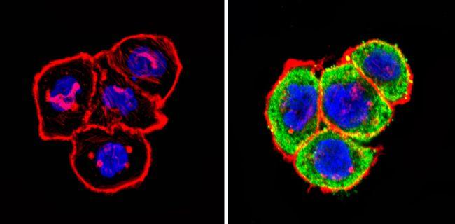 ImmunofluorescenceIT1 Antibody (PA3-848) in Immunofluorescence