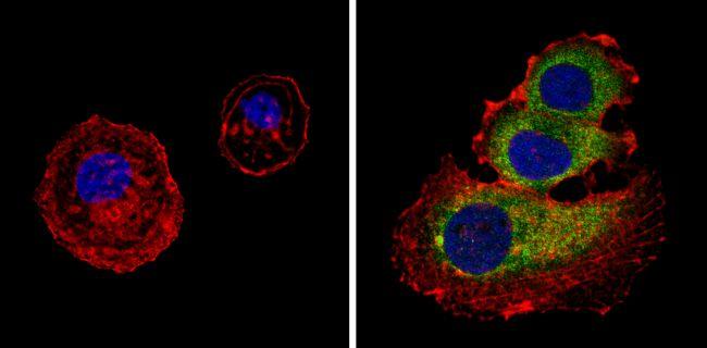 PAR6 Antibody (PA3-911) in Immunofluorescence