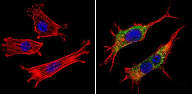 PAR6 Antibody (PA3-911)
