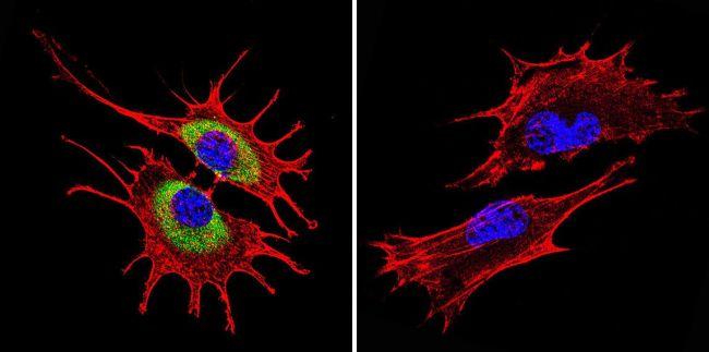 RAB4A Antibody (PA3-912) in Immunofluorescence