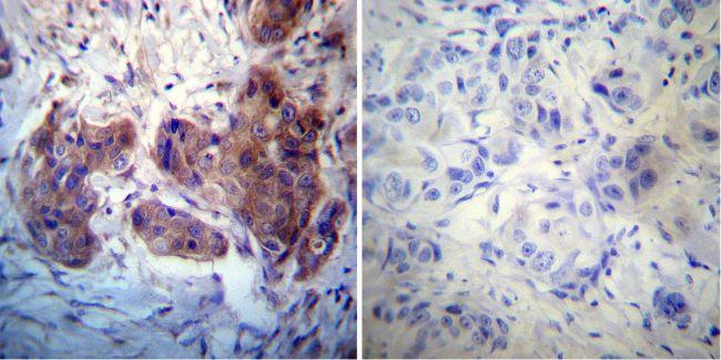 RAB4A Antibody (PA3-912) in Immunohistochemistry