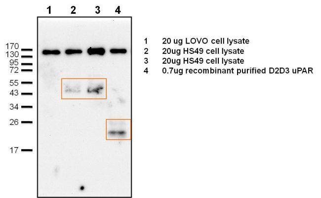 uPAR Antibody (PA3-001) in Immunoprecipitation