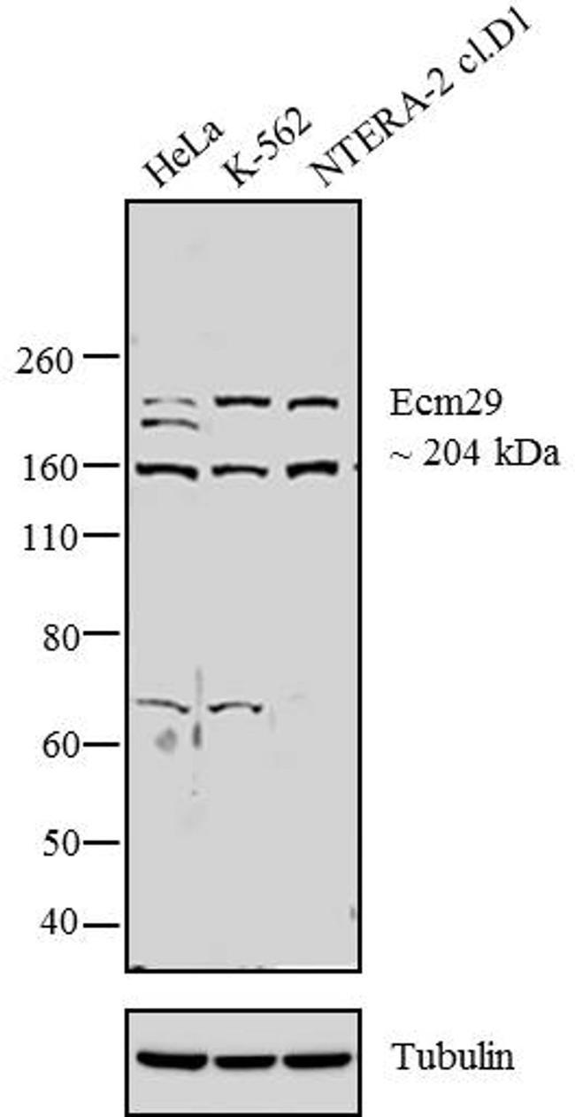 ECM29 Antibody (PA3-035) in Western Blot