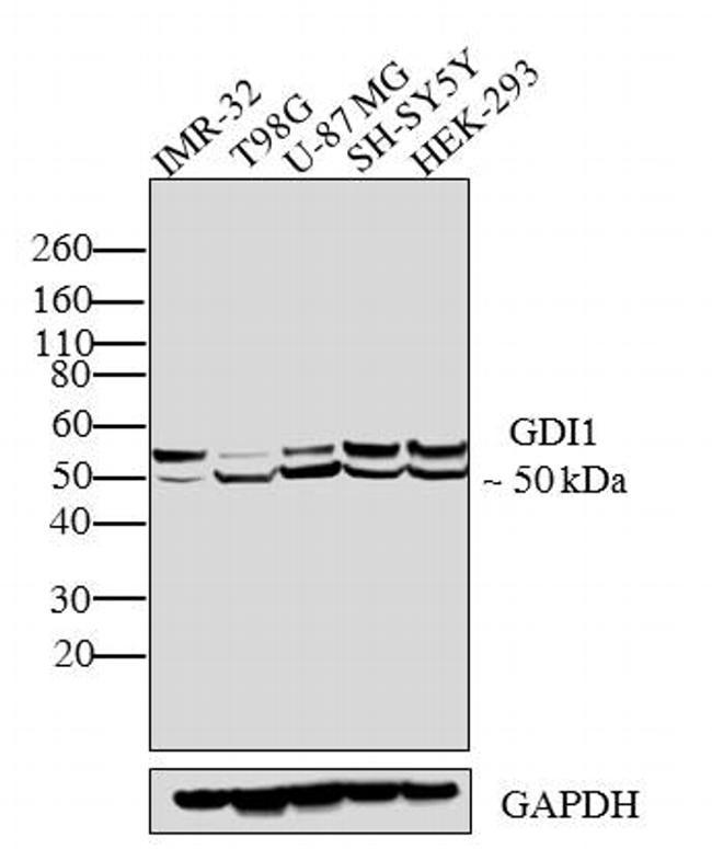 GDI1 Antibody (PA3-914)