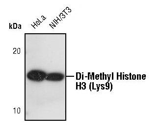 Di-Methyl-Histone H3 (Lys9) Antibody (PA5-16195) in Western Blot