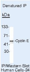 Cyclin E Antibody (PA5-16237) in Immunoprecipitation