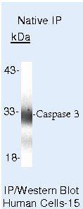 Caspase 3 Antibody (PA5-16335) in Immunoprecipitation